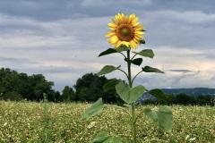 Sonnenblume auf der Allmend