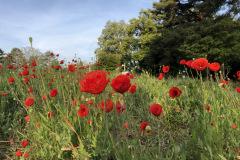 Mohnfeld beim Blumenfeld