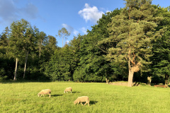 Schafe auf der Allmend