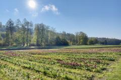 Tulpenfeld April 2021