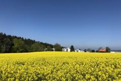 Rapsfeld auf der Rüterwies, Blick zum Ahorn
