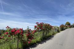 Rosen an der Kesslerstrasse