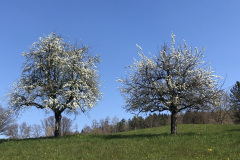 Apfelbäume, untere Allmend