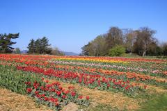 Tulpenfeld auf der Allmend