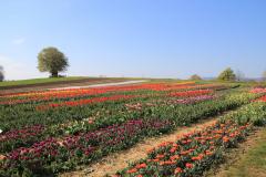 Tulpenfeld auf der Allmend2