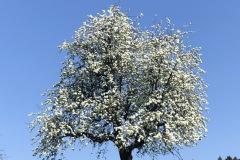 blühender Apfelbaum